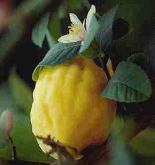 citrusmedica4
