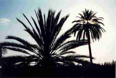 marrakech_palmiers